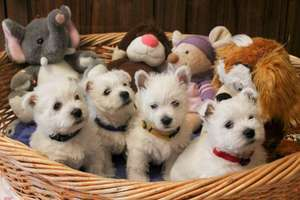 Фото: West Highland White Terrier
